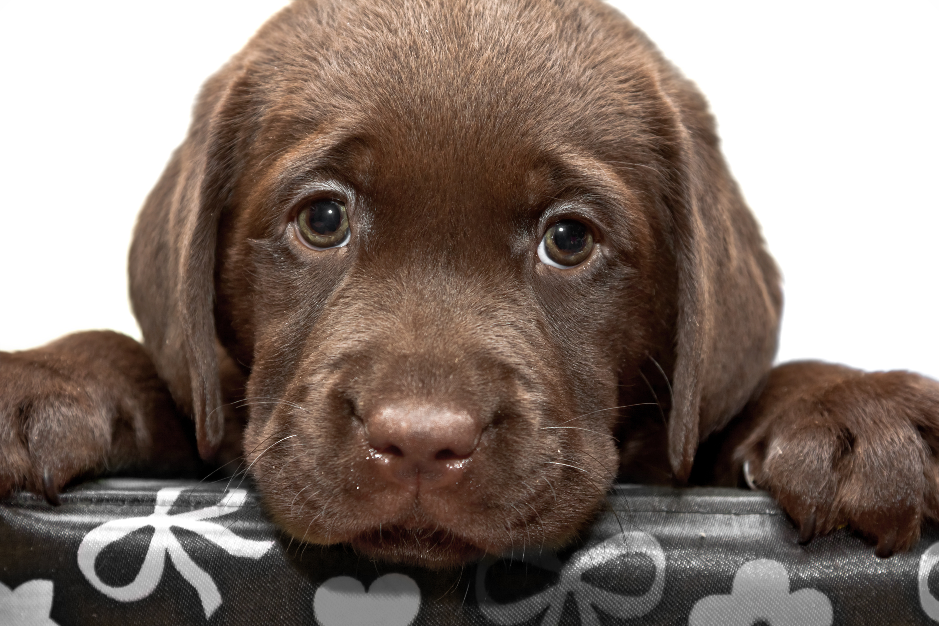 Chocolate lab puppy with puppy eyes