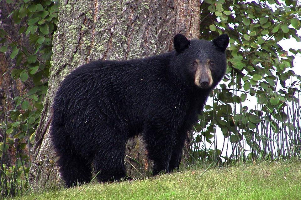 black_bear.jpg